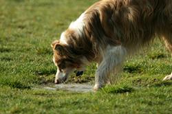 giardia_en_los_perros_2