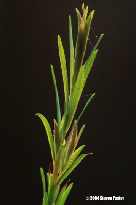 tea_tree_oil-1