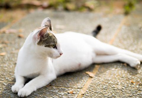 pregnant_cat
