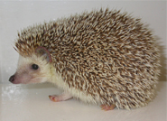 hedgehog_copy