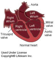 normal_heart