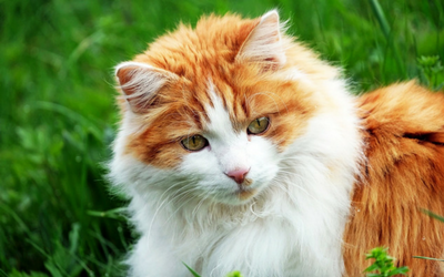 kidney_failure_in_cats