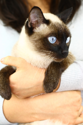 siamese_cat