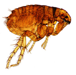 allergy_-_flea_allergy_dermatitis-2