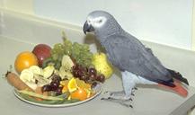 african_grey-feeding-1