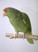 amazon_parrots-2