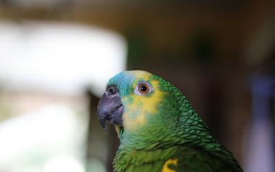 amazon_parrots_-_general