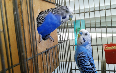 budgies_cage