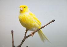 canaries_-_feeding-3