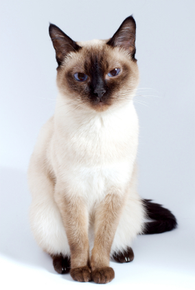 cat_-_siamese