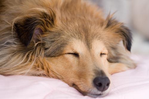 dog---brown-shelestie-sleeping