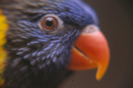 lories__lorikeets-feeding-2