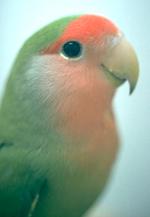 lovebirds-1