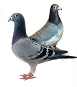 pigeons_and_doves-1