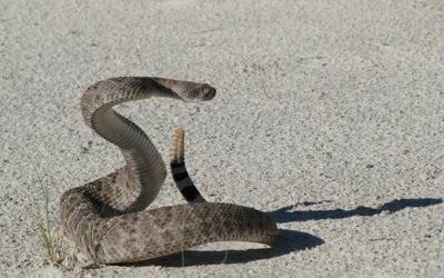rattlesnake_snake_envenomization