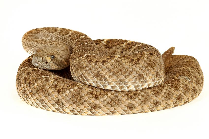 snakebite_envenomization
