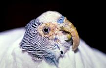 psittacine_beak__feather_disease-1