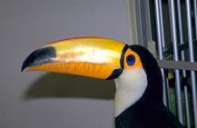 toucans_toucanettes-feeding-1