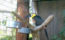 toucans_toucanettes-feeding-2