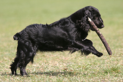 tail_docking_in_the_dog_1_2009