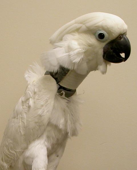 collars_for_birds-1