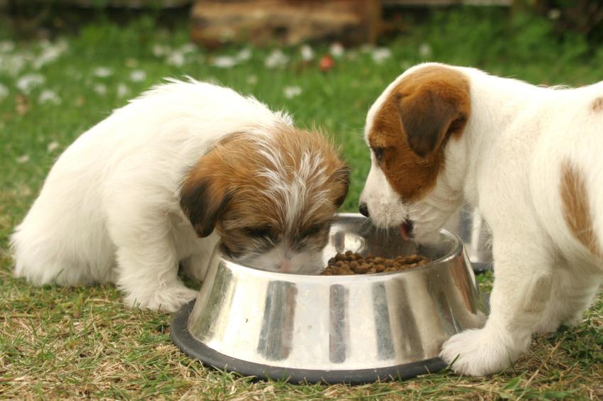 dog_-_beagle_puppy_eating