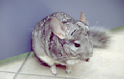 chinchillas-diseases-2