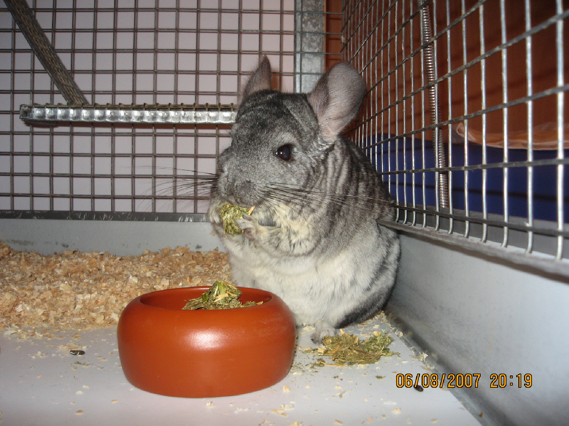 chinchillas-feeding-1