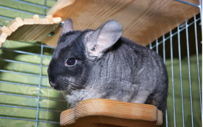 chinchilla_cage