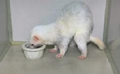 ferrets-feeding-1