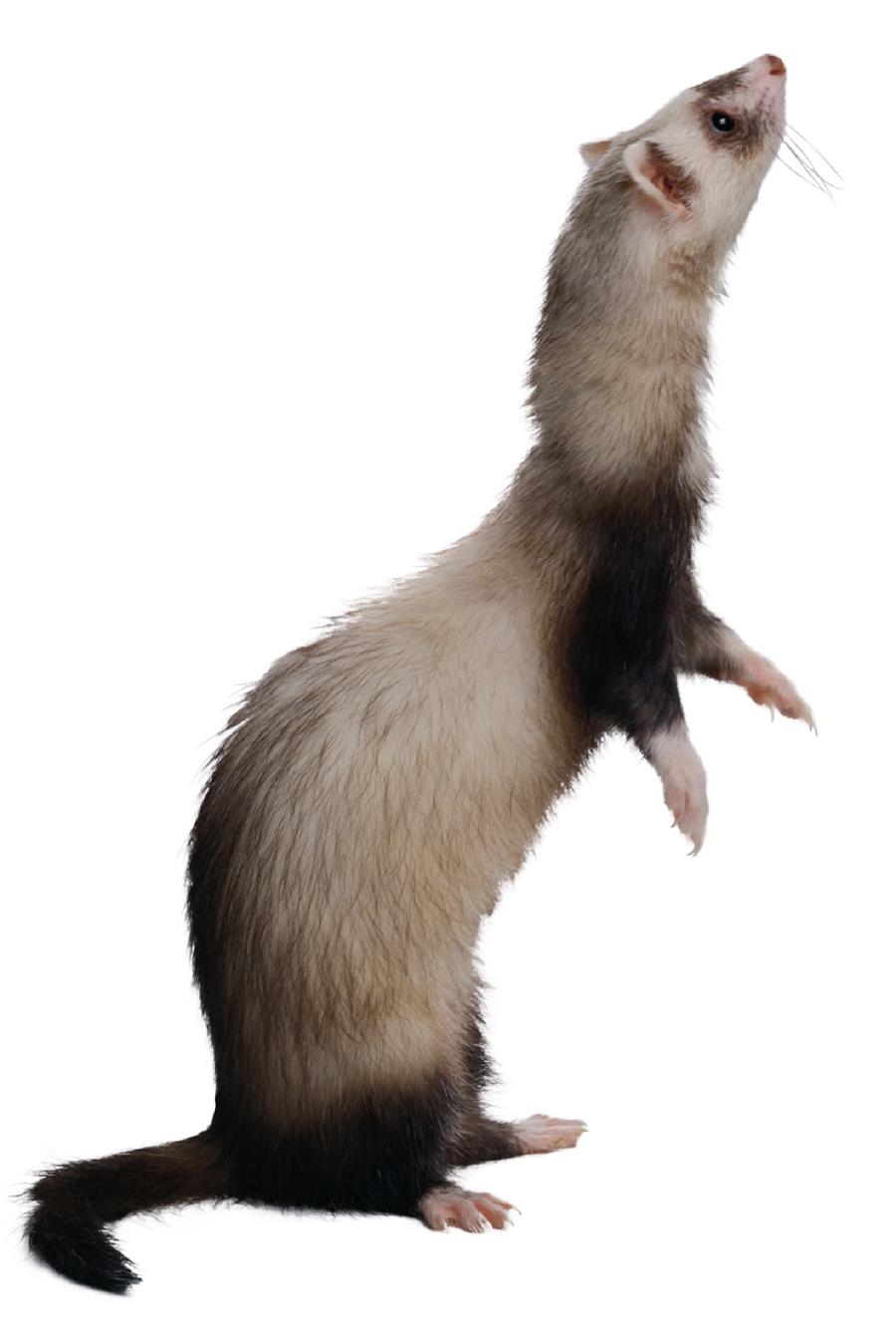 ferrets_-_gastrointestinal_disease-1