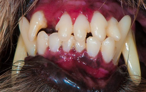 Moderate stomatitis in a Carin Terrier