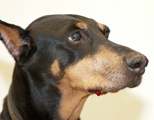 Melanoma in the Doberman's right lower jaw