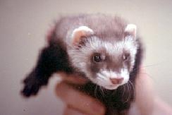 ferrets-owning-1