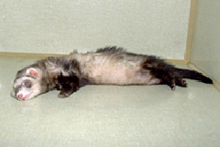 ferrets-problems-2