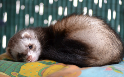 ferret_-_reproductive_disease
