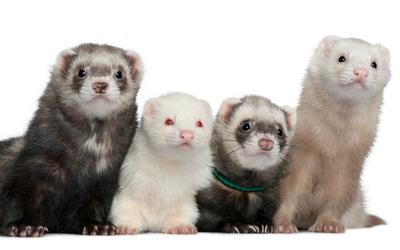 reproductive_ferrets