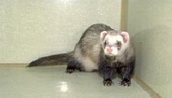 ferrets-tumour-1