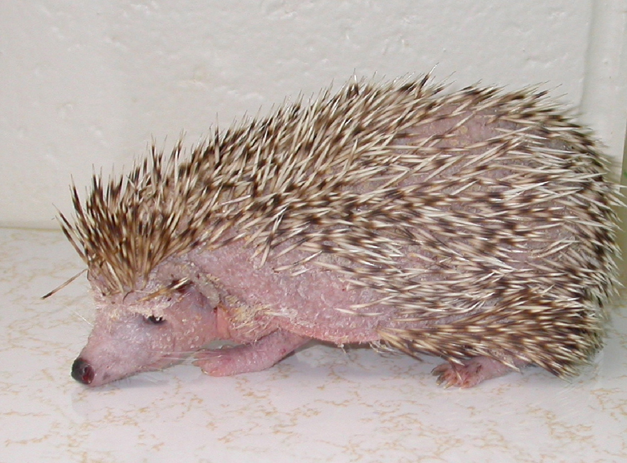 hedgehogs-diseases-1