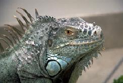 iguanas-feeding-2