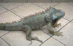 iguanas-housing-1