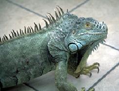 iguanas-owning-1