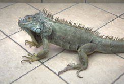 iguanas-problems-1