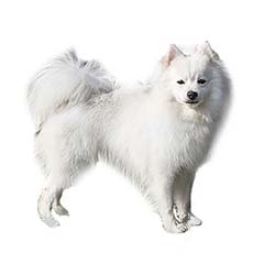 Photo of American Eskimo Dog