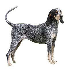 Photo of Bluetick Coonhound