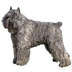 Photo of Bouvier des Flandres