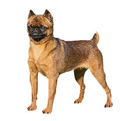 Photo of Brussels Griffon