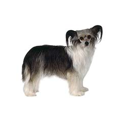 Photo of Chinese Crested Dog