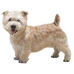 Photo of Glen of Imaal Terrier