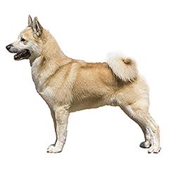 Photo of Norwegian Buhund